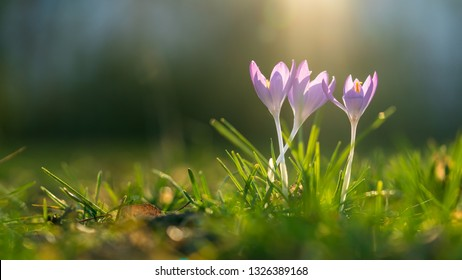 Three crocusses on a sunny day in spring
