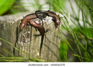Three cubs of viviparous lizards on a wooden post. Environment, reptiles