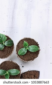 Three cucumber seedling plants in peat pots with gardening trowl pots and soil on a white wooden table. Image shot from above in flat lay style. Extreme shallow depth of field.