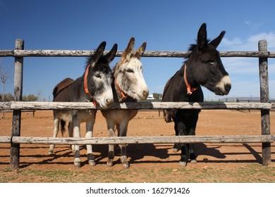three curious donkeys