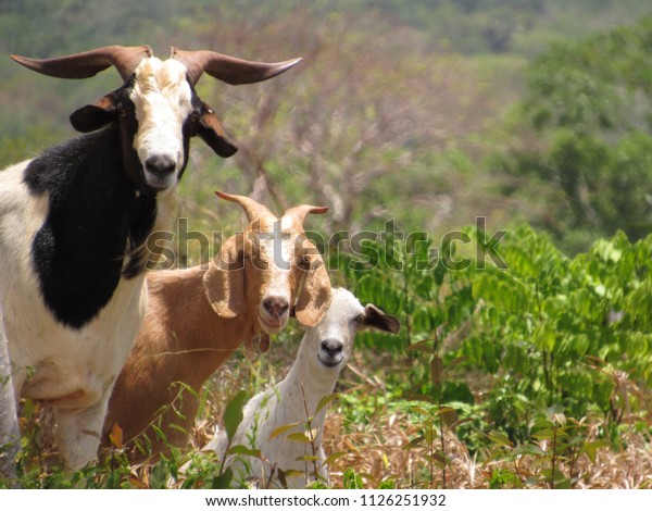 three-curious-goats-looking-out-600w-112