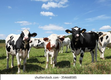 Three curious Holstein dairy cows standing in a row  in a summer pasture two black and  one red and white, with the  rest of the cattle in the herd behind them.