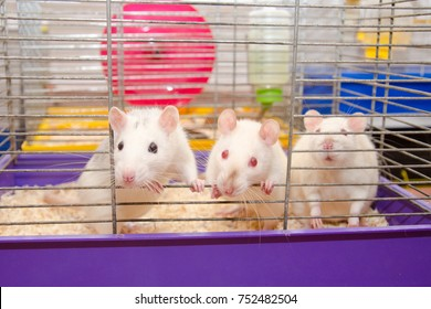 Three curious laboratory rats looking out of a cage in a laboratory (selective focus on one of the rats)