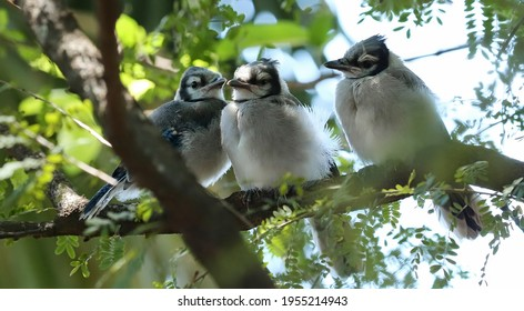 Three cute baby blue jay fledglings sitting in a cassia tree. Blue Jays are known for their intelligence and complex social systems.