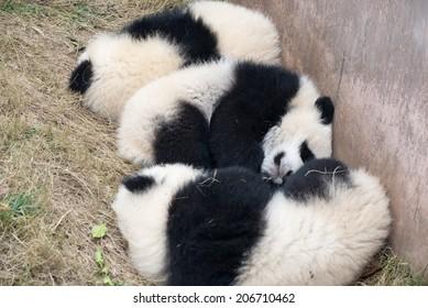 three cute baby pandas sleeping  on the ground.