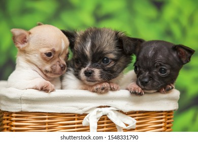 Three cute Chihuahua puppies in basket on green background