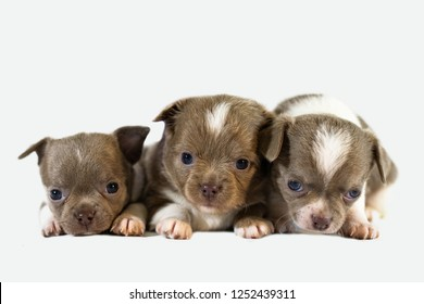 Three cute chihuahua puppy dogs. Funny little puppies. Isolated white background.