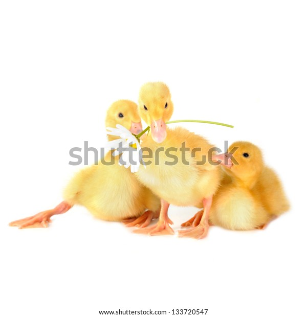three  cute fluffy  ducklings and chamomile isolated