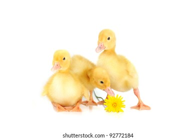 three  cute fluffy  ducklings and  dandelion isolated