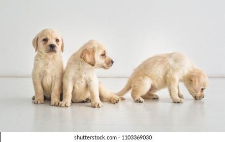 Three cute golden labrador puppies on the floor