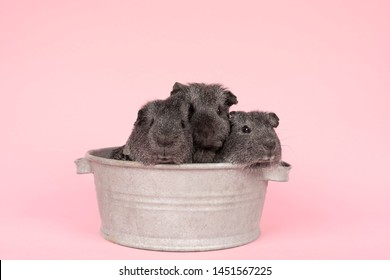 Three cute grey guinea pigs sitting next to eachother in a pewter tin bath  on  pink background