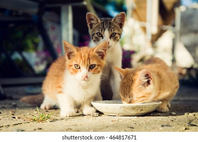 Three cute kittens drinking milk from a plate, outside.