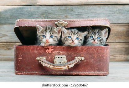 Three cute kittens are sitting in vintage suitcase on a wooden background