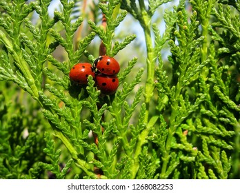 Three cute ladybugs against juicy green background