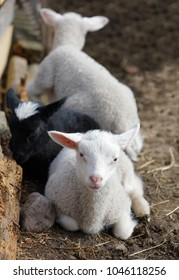 Three cute lamb resting in the pasture