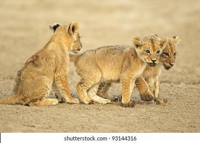 Three cute lions cubs (Panthera leo), Kalahari desert, South Africa