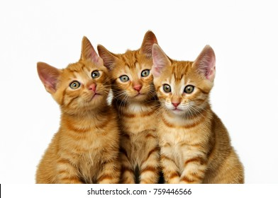 Three cute little kittens, red mackerel tabby, European Shorthair, friends side by side, heads close together with white background.