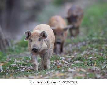 Three cute piglets from traditional pig breed mangalitsa walking on grassland in forest in autumn time. Organic meat production