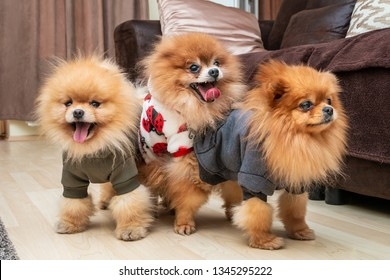 Three cute Pomeranian puppy dogs playing on the floor at home. Mating dogs.