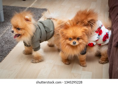 Three cute Pomeranian puppy dogs playing on the floor at home. Close up.