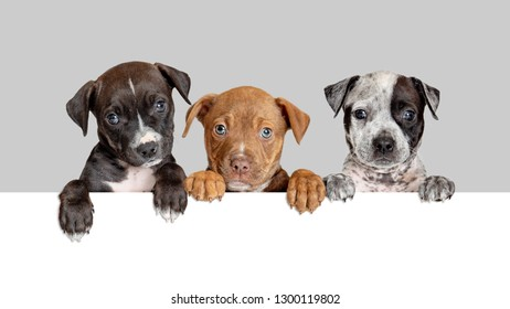 Three cute puppies hanging paws over blank white sign or web banner