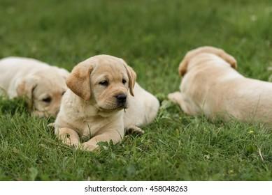 three cute yellow Labrador puppy resting in green grass