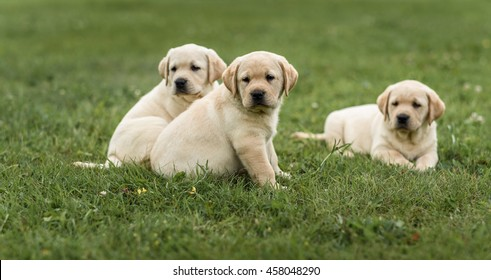three cute yellow Labrador puppy resting in green grass