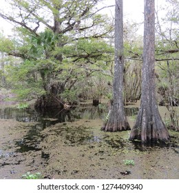 three cypress tress surrounded by calm water in a cypress swamp