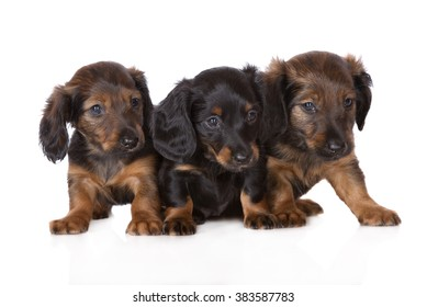 three dachshund puppies on white