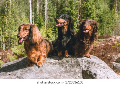 Three dachshund sitting on the stone with forest background, long haired dachshunds, dog trio