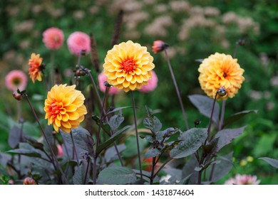 Three dahlias of an intense orange color in an urban garden of the Danish town of Odense during a summer afternoon