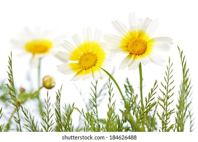 three daisies in grass isolated on white