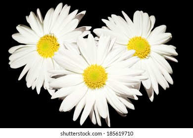 three daisy flowers isolated on white