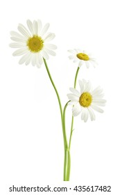 Three daisy flowers isolated on white background
