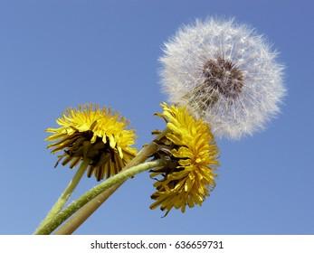 three dandelions against blue sky