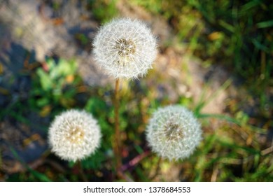 three dandelions blowballs seeds