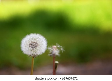Three dandelions next to each other, one with all the seeds, one with some and one with none. With a green background and space for text. Shallow depth of field with blurred background.