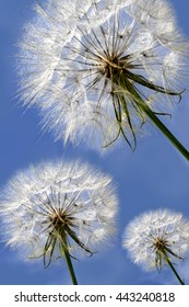 Three dandelions on blue sky.