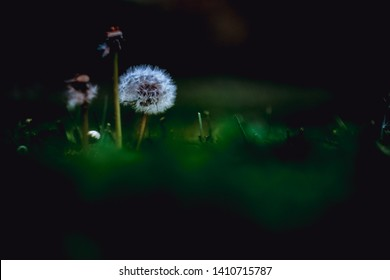 Three dandelions, one of them full of white blowballs, growing up ina apublic garden in Pamplona, Spain