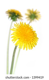 three dandelions over clear white background  (taraxacum officinale)