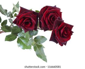 three dark red roses at white background
