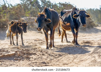 Three darks cows walking along the dusty road facing towards camera wiith dusty trees in the background