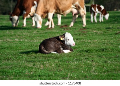 A three day old calf resting in a field of green grass, with other cows in the background