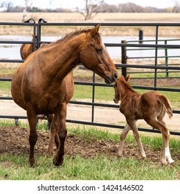 Three day old foal with mother a small colt pony in corral picture of parenthood and pride