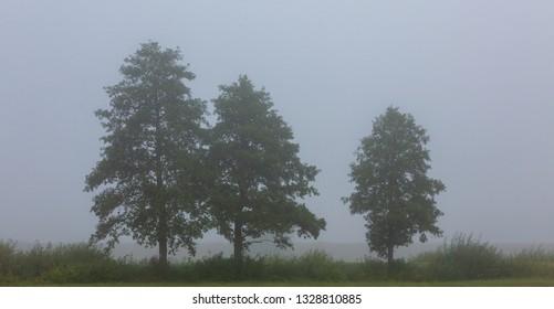 Three deciduous tree in mist by road, Podlasie Region, Poland, Europe