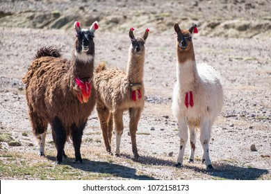 Three decorated llamas (Lama glama) stand together and look into camera. Bolivia