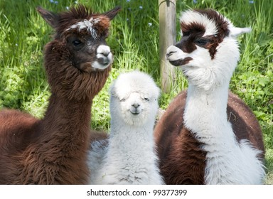 Three different alpacas colored brown and white