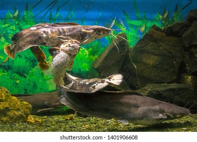 Sharptooth Catfish Images, Stock Photos & Vectors | Shutterstock