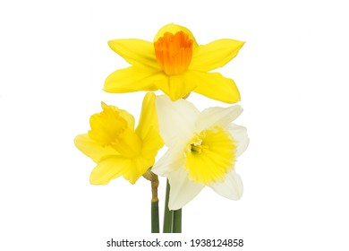 Three different daffodil flowers isolated against white
