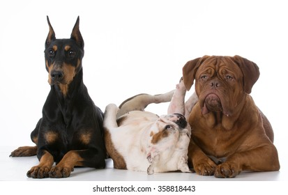 three different purebred dogs on white background